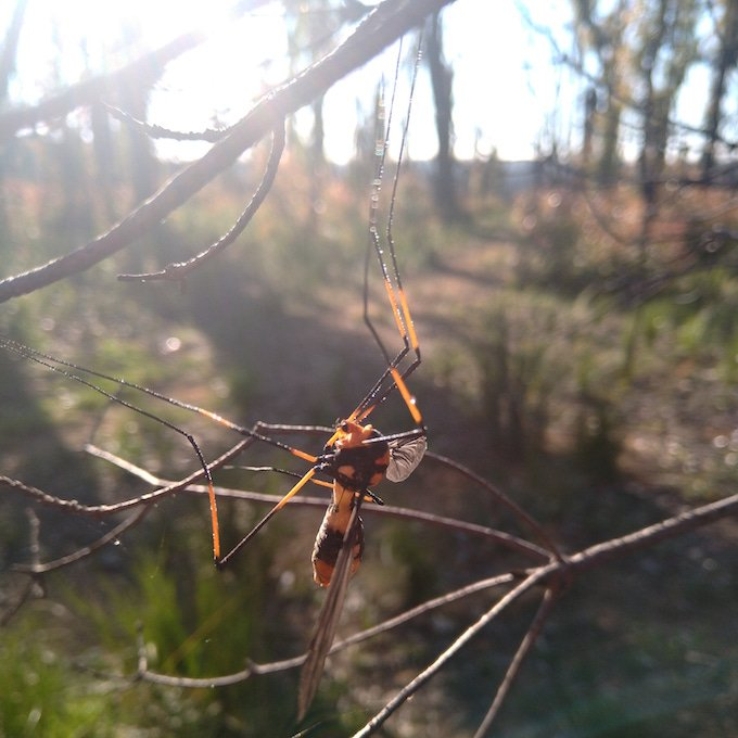 orange and black insect with wide transparent wings