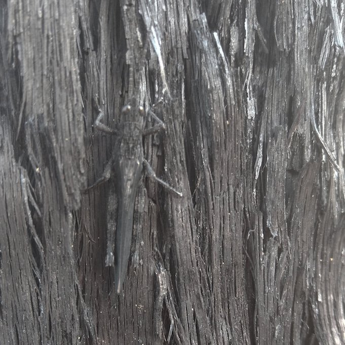 insect looking like burnt bark