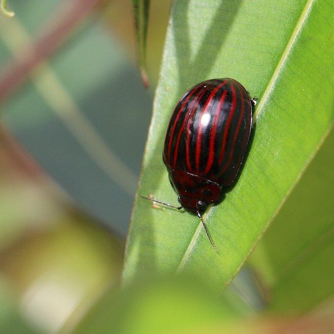 red striped black beetle