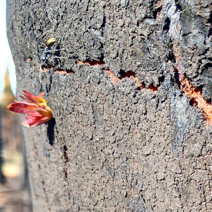 an ant faces a small cluster of leaves protruding from a burnt tree trunk