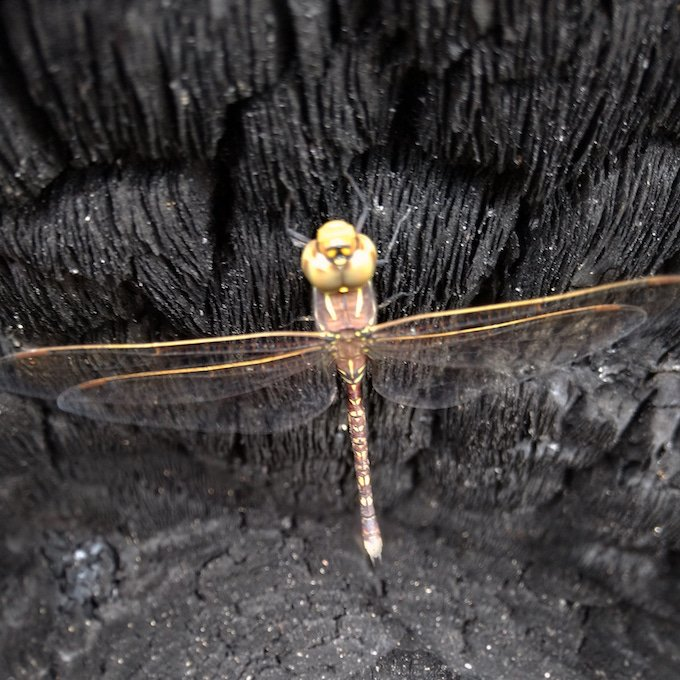 dragonfly on burnt tree remains