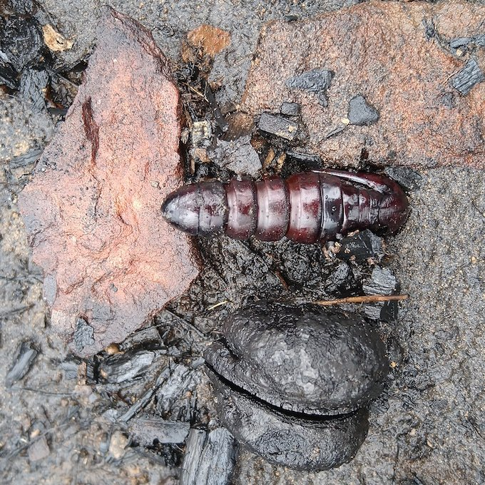 a rock, a burnt hakea seed pod and a larvae carapace on burnt ground