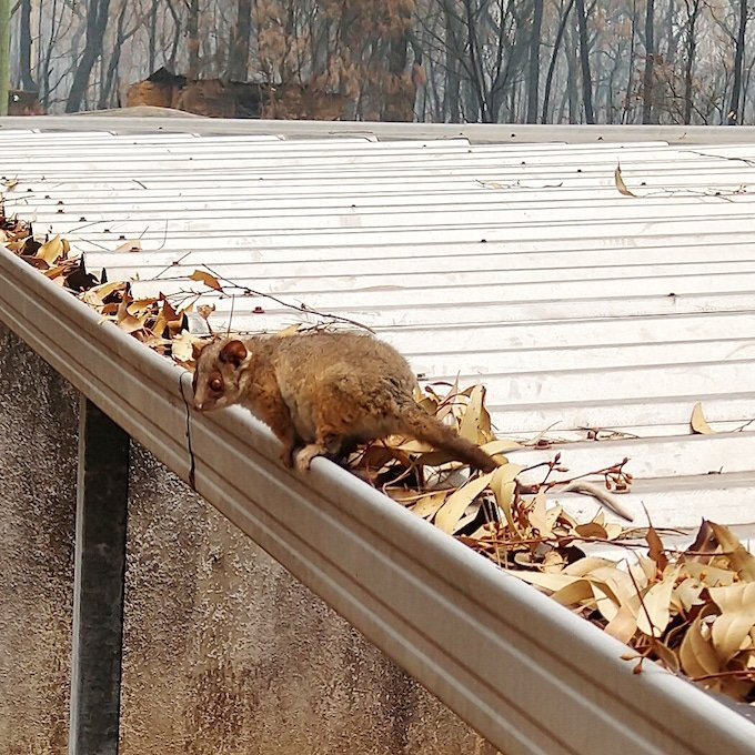 small ringtail possum crouches on top of a gutter filled with dried and burnt leaves