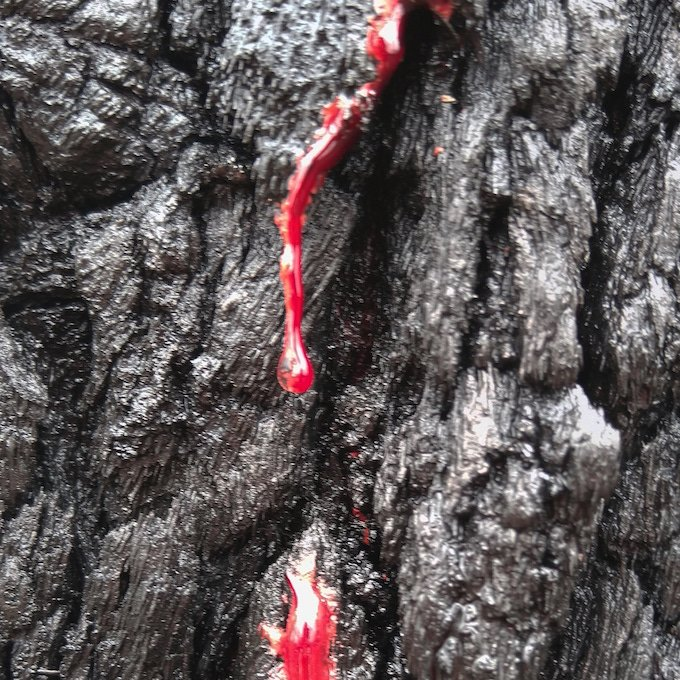 bright red tree resin drips down a charcoaled trunk