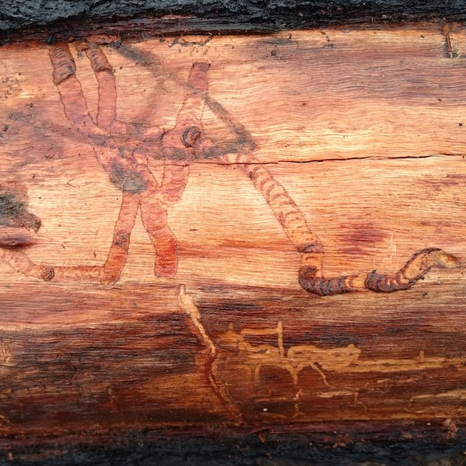 larvae marks on tree trunk