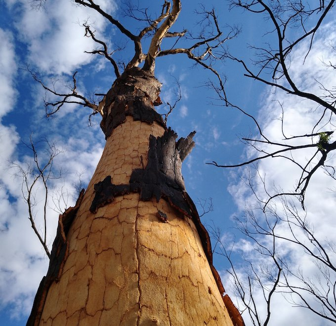 looking upwards along the length of a scribbly gum losing its outer bark layer