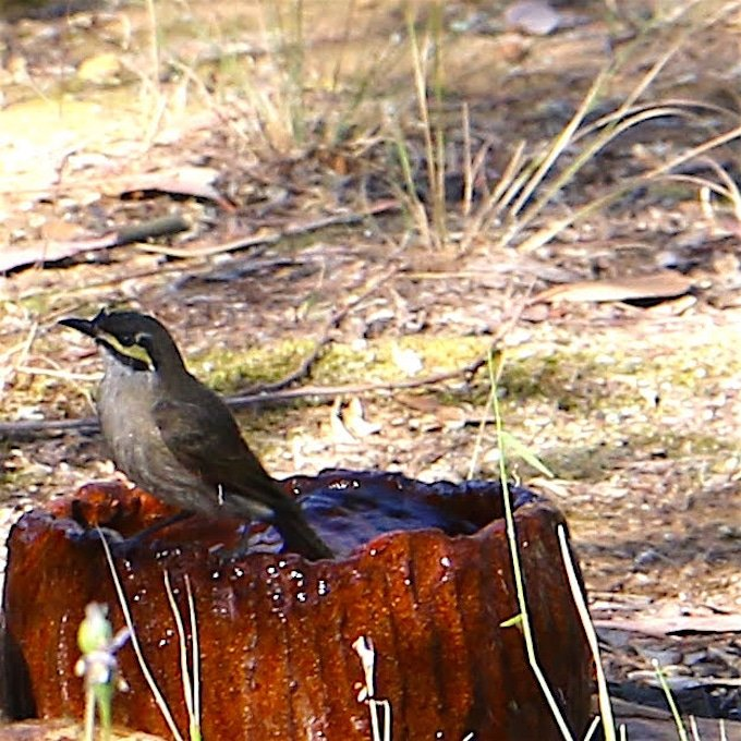 small bird with yellow stripe under eye sitting on the edge of a water bowl