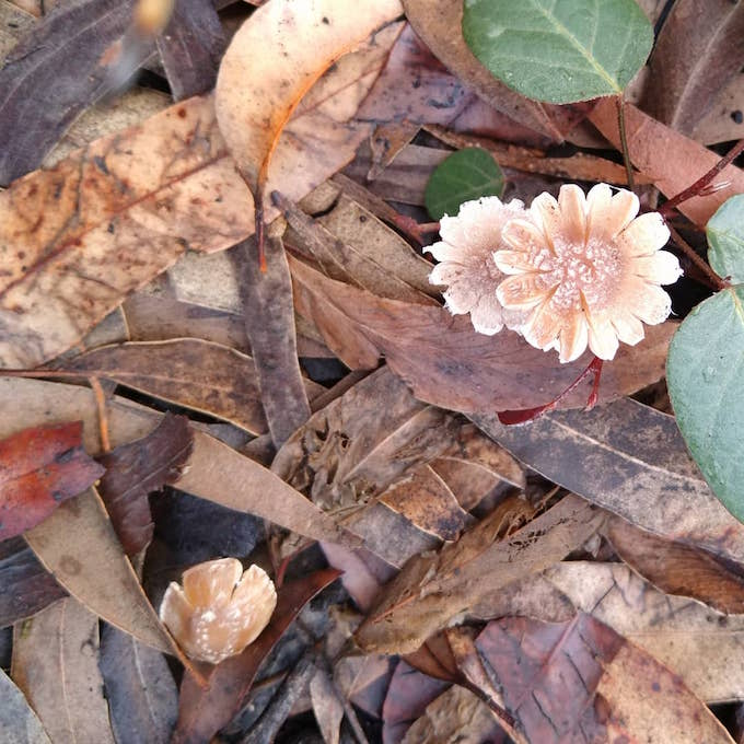 small mushrooms resembling flowers push through leaf litter