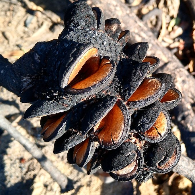 open banksia seed pods