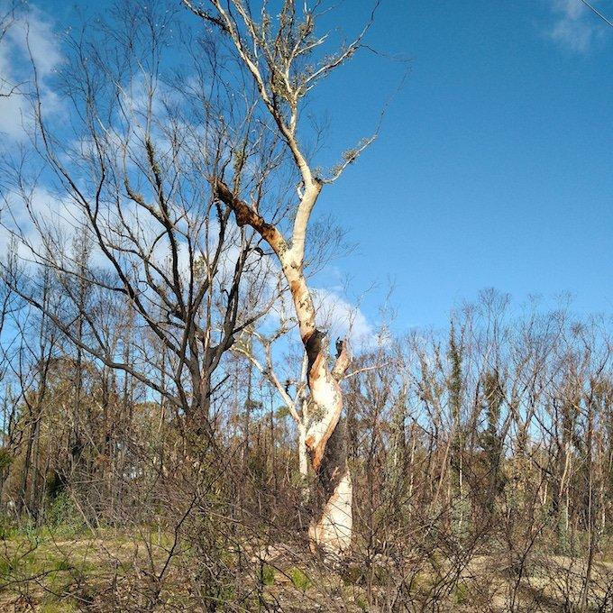 pale gum with spiral dark burn pattern up trunk