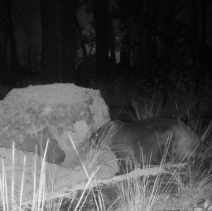 wombat near entrance to hole