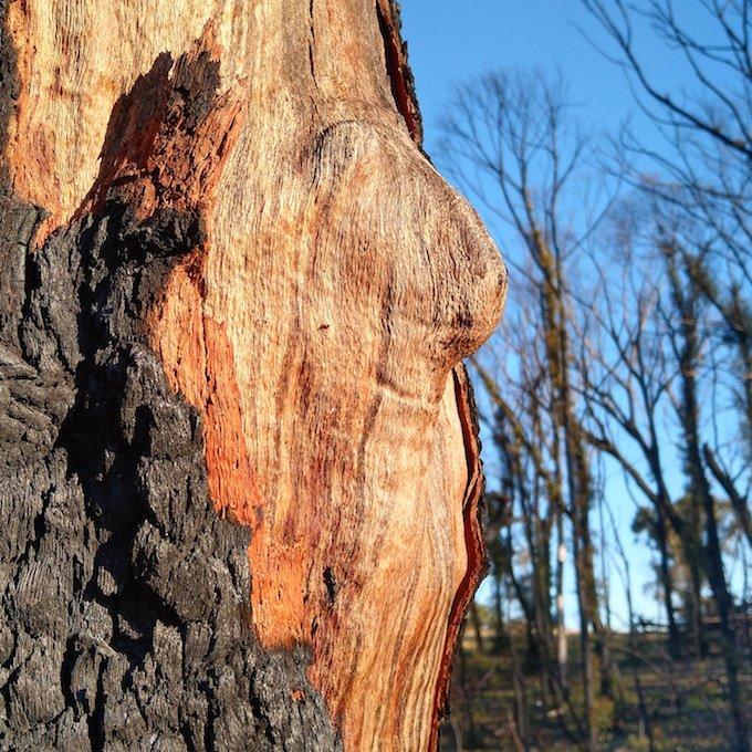 pale wood revealed between black bark