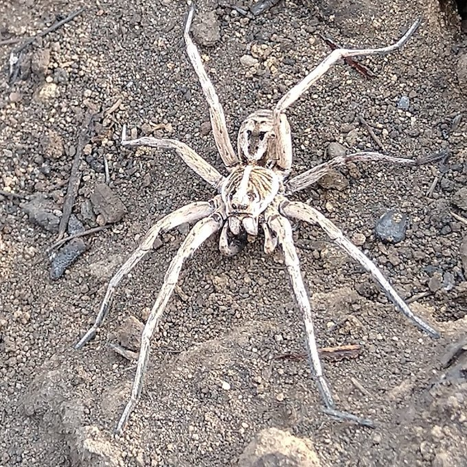 pale grey spider on ash ground