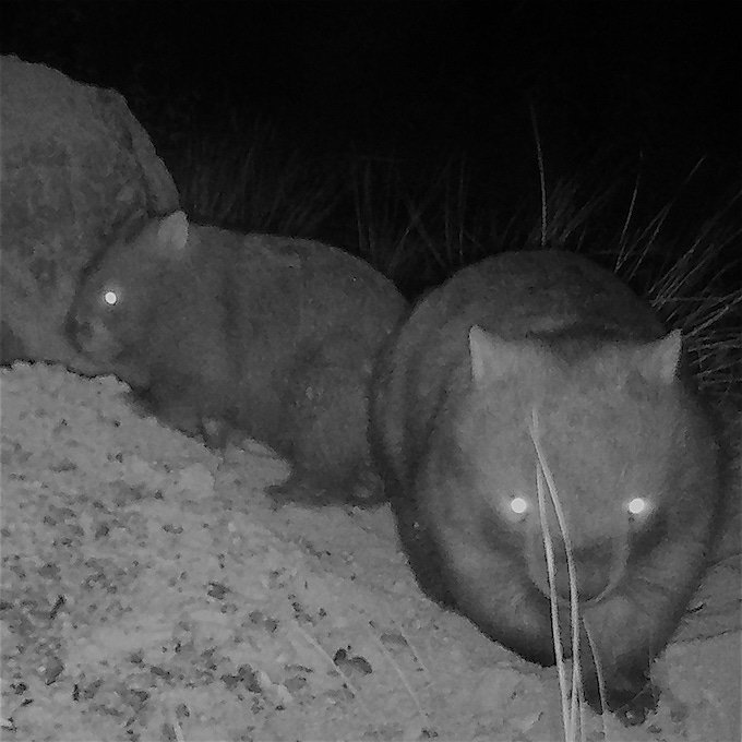 two wombats outside wombat hole