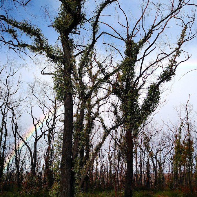 rainbow through burnt trees with green regrowth