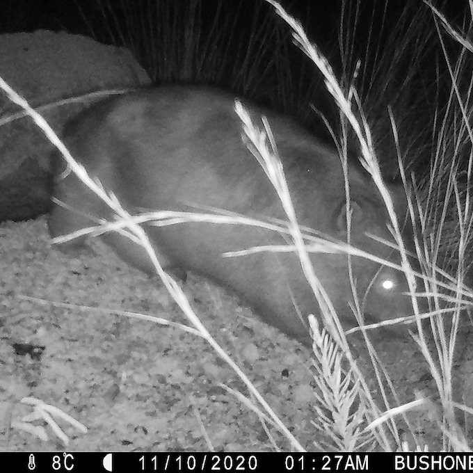 black and white night vision of a large wombat with a large pouch bulge in front of back legs