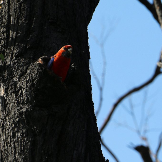 Crimson rosella emerging from nest hole in burnt tree