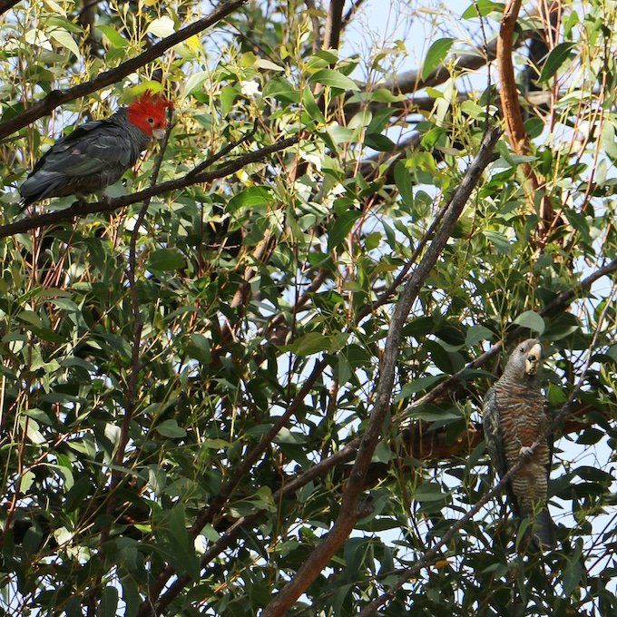 A Gang-gang cockatoo pair amidst leaves and branches. Female pale grey with salmon pink scalloping on chest. Male grey with bright orange head.