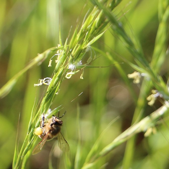 bee on grass strand with large yellow pollen sack