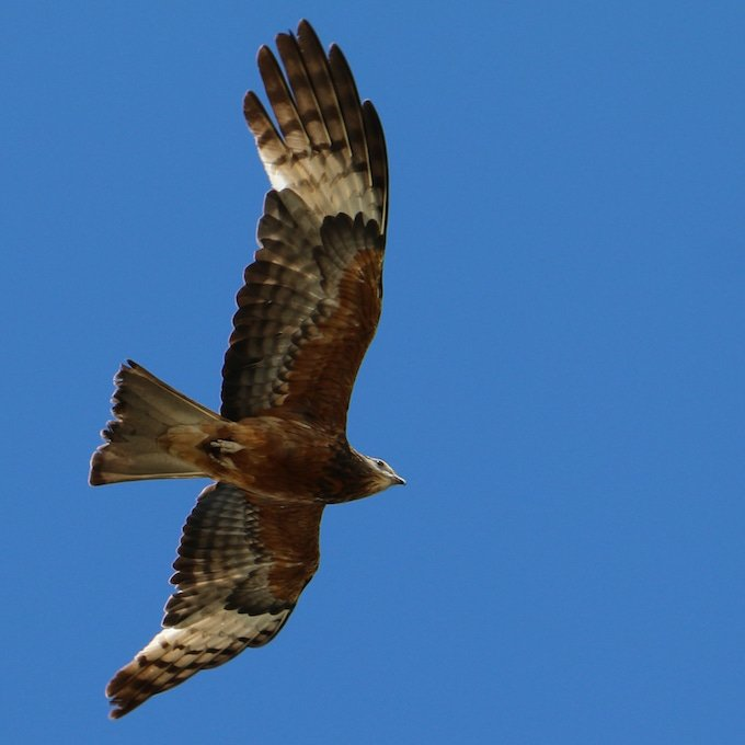 view from below of large flying bird against blue sky