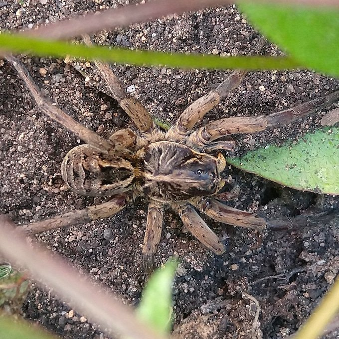 brown spider on the ground between green leaves