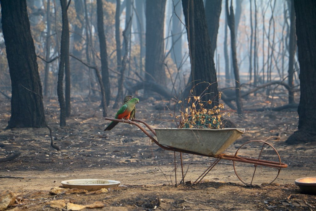 A green bower bird and green and orange king parrot sit on the handles of a metal wheelbarrow above a water bowl amidst a burnt bush